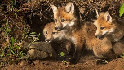kippenhok dat bestand is tegen vossen -