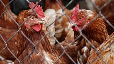 Ophokplicht door vogelgriep -